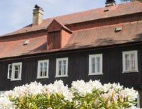 Закройте вверх по зацветая белому розовому цветку рододендрона с коричневым журналом Стоковое фото RF