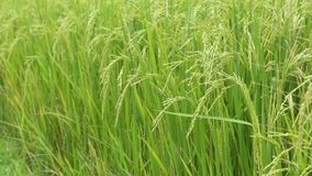 Закройте вверх по зеленому рису жасмина в Таиланде акции видеоматериалы