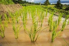 Закройте вверх по зеленому полю Чиангмаю неочищенных рисов, Таиланду Пункт селективного фокуса Стоковая Фотография