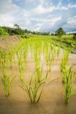 Закройте вверх по зеленому полю Чиангмаю неочищенных рисов, Таиланду Пункт селективного фокуса Стоковое фото RF