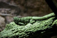 Закройте вверх по игуане зеленого цвета вид сзади на ветви в зоопарке бронкс Стоковые Изображения