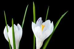 Закройте вверх по изображению 2 белых цветков крокуса Стоковая Фотография RF