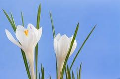 Закройте вверх по изображению 2 белых цветков крокуса Стоковое Изображение