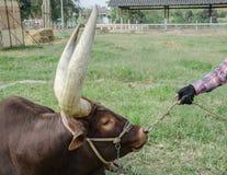 Закройте вверх по изображению быка лонгхорна Стоковая Фотография