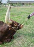 Закройте вверх по изображению быка лонгхорна Стоковые Фото