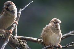 Закройте вверх по изображению воробья садить на насест в дереве Стоковая Фотография RF