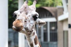 Закройте вверх по изображению жирафа смотря камеру Стоковая Фотография