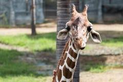 Закройте вверх по изображению жирафа смотря камеру Стоковые Фотографии RF