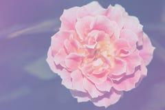 Закройте вверх по изображению одиночной розы пинка Стоковые Фото