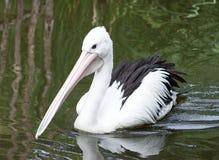 Закройте вверх по изображению пеликана на воде Стоковое Изображение