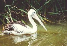 Закройте вверх по изображению пеликана на воде Стоковые Изображения