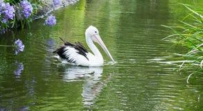 Закройте вверх по изображению профиля стороны пеликана Стоковые Фото
