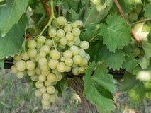 Закройте вверх по изображению пука зеленых виноградин повешенных от ветви Стоковые Фотографии RF