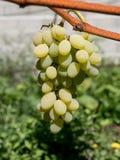 Закройте вверх по изображению пука зеленых виноградин повешенных от ветви Стоковая Фотография RF