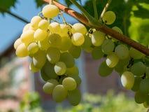 Закройте вверх по изображению пука зеленых виноградин повешенных от ветви Стоковое Изображение