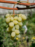 Закройте вверх по изображению пука зеленых виноградин повешенных от ветви Стоковые Фото