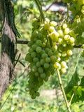 Закройте вверх по изображению пука зеленых виноградин повешенных от ветви Стоковое Фото