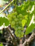 Закройте вверх по изображению пука зеленых виноградин повешенных от ветви Стоковое Изображение RF
