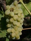Закройте вверх по изображению пука зеленых виноградин повешенных от ветви Стоковое фото RF