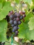 Закройте вверх по изображению пука красных виноградин повешенных от ветви o Стоковое Изображение RF
