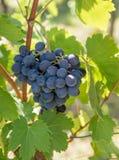 Закройте вверх по изображению пука красных виноградин повешенных от ветви o Стоковые Фото