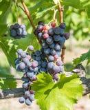 Закройте вверх по изображению пука красных виноградин повешенных от ветви o Стоковая Фотография RF