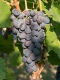 Закройте вверх по изображению пука красных виноградин повешенных от ветви o Стоковая Фотография