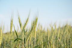 Закройте вверх по изображению corns ячменя растя в поле Стоковая Фотография RF