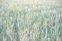 Закройте вверх по изображению corns ячменя растя в поле Стоковые Фотографии RF