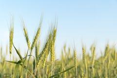 Закройте вверх по изображению corns ячменя растя в поле Стоковая Фотография
