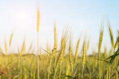 Закройте вверх по изображению corns ячменя растя в поле Стоковые Изображения RF