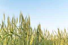 Закройте вверх по изображению corns ячменя растя в поле Стоковое Изображение