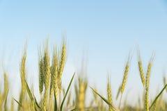 Закройте вверх по изображению corns ячменя растя в поле Стоковое Изображение RF