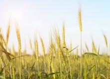 Закройте вверх по изображению corns ячменя растя в поле Стоковое Фото