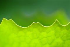 Закройте вверх по лист съемки макроса Стоковое Изображение RF