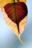 Закройте вверх по лист po в осени Стоковые Изображения