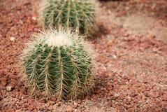 Закройте вверх по кактусу на земле Стоковая Фотография