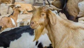 Закройте вверх по козе группы коричневой и белой в ферме Стоковое Фото