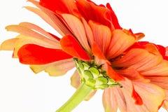 Закройте вверх по конспекту цветка Zinnia стоковое фото