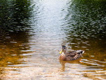 Закройте вверх по коричневой крякве в воде стоковое изображение rf