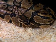 Закройте вверх по короткому фокуса змейки питона на ем голову и глаз и запачкайте Стоковая Фотография RF