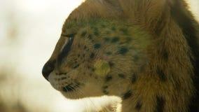 Закройте вверх по коту сервала с запятнанный как гепард и дополнительные длинные ноги, саванна, Африка стоковые фото