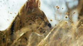 Закройте вверх по коту сервала с запятнанный как гепард и дополнительные длинные ноги, саванна, Африка стоковое фото
