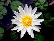 Закройте вверх по красивому белому лотосу в парке, желтому цвету цветня Стоковые Фото
