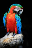Закройте вверх по красивому птиц ары шарлаха садясь на насест на сухом дереве b Стоковые Фотографии RF