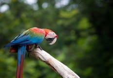 Закройте вверх по красивому птиц ары шарлаха садясь на насест на сухом дереве b Стоковое фото RF