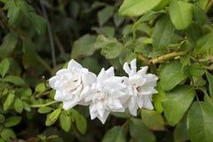Закройте вверх по красивым белым розам Стоковое фото RF