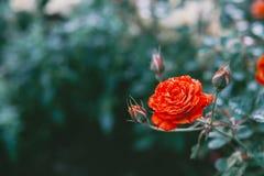 Закройте вверх по красной розе в поле Стоковое фото RF