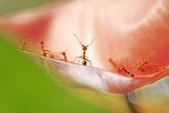 Закройте вверх по красной стойке муравья на розовом цветке Стоковое Фото