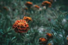 Закройте вверх по красному и желтому цветку patula tagetes в поле стоковая фотография